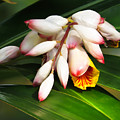Shell Ginger Flowers by Zina Stromberg