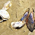 Shells On The Beach Of Jekyll by Katherine W Morse