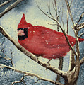 Shelly's Cardinal by Sam Sidders