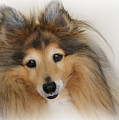Sheltie Dog - A Sweet-natured Smart Pet by Christine Till