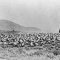 Shepherd And Flock, C1942 by Granger