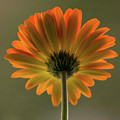 Shine Bright Gerber Daisy Square by Terry DeLuco