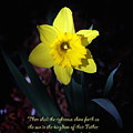 Shining Daffodil by Debbie Nobile