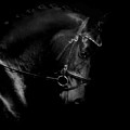 Shiny Black Horse by Perry Correll