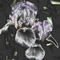 Shiny Irises by Smilin Eyes  Treasures