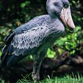 Shoebill Stork Side Portrait by Pati Photography