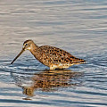 Short-billed Dowitcher by HH Photography of Florida