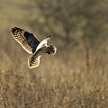 Short-eared Owl About To Strike by Bob Kemp