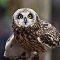 Short Eared Owl by Amy Jackson