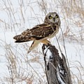 Short Eared Owl by Audie T Photography
