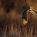 Short-eared Owl Banking by Max Waugh