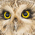 Short-eared Owl Face by Ray Hydes