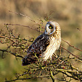 Short-eared Owl In Tree by Bob Kemp