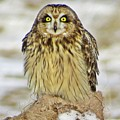 Short-eared Owl by J L Kempster