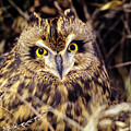 Short Eared Owl by John Hyde - Printscapes