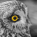 Short-eared Owl Mono Coloured Eye by Ray Hydes