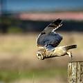 Short-eared Owl Takeoff by Michael McAuliffe