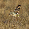 Short-eared Owl With Vole by Bob Kemp