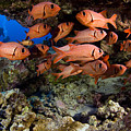 Shoulderbar Soldierfish by Dave Fleetham - Printscapes