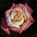 Show Me A Rose by Robert Ullmann