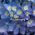 Showered Hydrangeas by Toni Lynn Cardoza