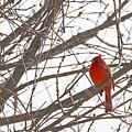 Showing His Colours - Northern Cardinal - Cardinalis Cardinalis by Spencer Bush