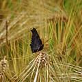 Showing The Dark Side. European Peacock On Barley by Jouko Lehto
