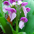 Showy Orchis Close Up by Alan Lenk