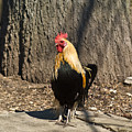 Showy Rooster Posed by Douglas Barnett