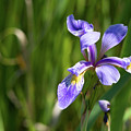 Shreve's Iris by Linda Kerkau