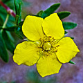 Shrubby Cinquefoil On Iron Creek Trail In Sawtooth National Wilderness Area-idaho  by Ruth Hager