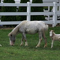 Shy Colt by Judy Moses