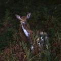 Shy Fallow Deer 4 by Roy Pedersen
