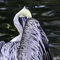 Shy Pelican by Shutter Click Photography