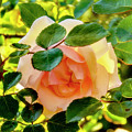 Shy Rose by Kay Brewer
