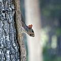 Shy Squirrel by Kenneth Albin