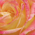 Shy Yellow Rose by Christina Geiger