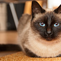 Siamese Cat by Catalin Pomeanu