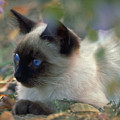 Siamese Cat Hiding by Robert Chaponot