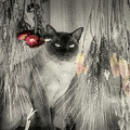 Siamese Cat In Black And White by Smilin Eyes  Treasures