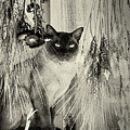 Siamese Cat Posing In Black And White by Smilin Eyes  Treasures