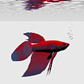 Siamese Fighting Fish by Corey Ford