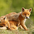 Sibbling Love - Playing Fox Cubs by Roeselien Raimond