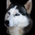 Siberian Husky Dog by Julie L Hoddinott