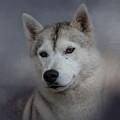 Siberian Husky by Jai Johnson