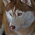 Siberian Husky by Larry Linton