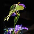 Siberian Iris And Luna Moth by Susan Capuano