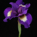 Siberian Iris by Ann Jacobson