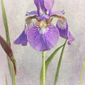 Siberian Iris by Mel Hensley