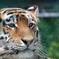 Siberian Tiger 2 by Glenn Gordon